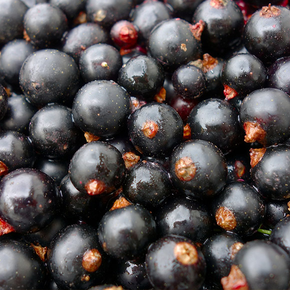 IQF frozen black currant (organic and conventional)